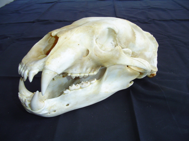 white whale with horn