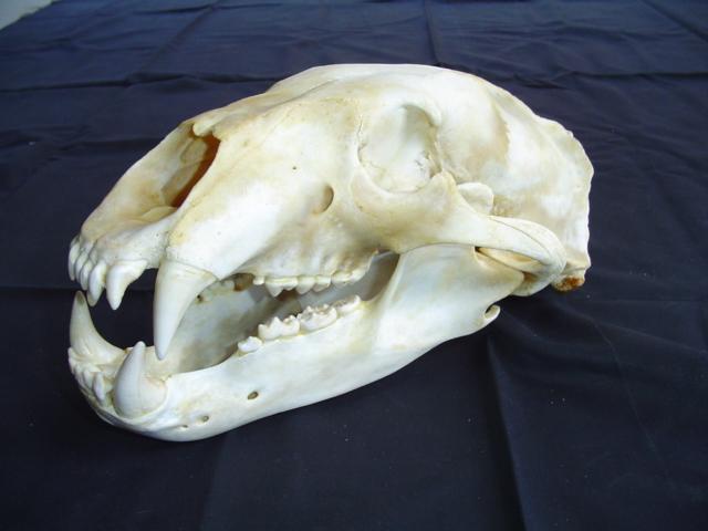 walrus tusks narwhal tusk teeth ivory for sale walross zaehne narwal